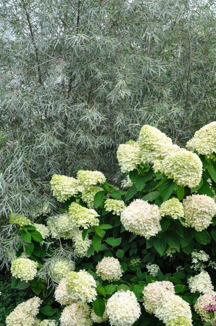 Hydrangea paniculata 'Lime Light' y Cornus alba 'Sericea'