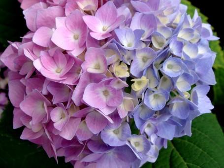 Colores de la hortensia