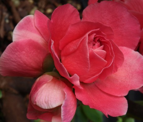 Chaenomeles 'Pink Storm'