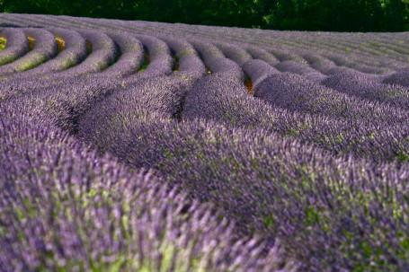 Campo de lavandines en Provenza (Francia). Foto: François Philipp.