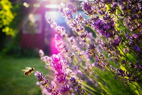 Es bonita, resistente, de fácil cultivo, huele bien, atrae a las abejas y está por todas partes, incluidas las rotondas. ¿Qué más podemos pedir? ¿Por qué sigue tan ignorada? Foto: Ulf Bodin.