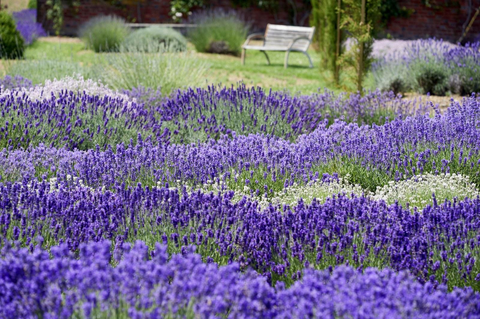 Lavandas casi todo lo que necesitas saber quincunx for Gartengestaltung lavendel