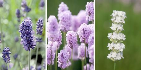 La variedad de L. angustifolia es mucho mayor de lo que parece. De izda. a dcha.: cultivares 'Imperial Gem', 'Rosea' y 'Arctic Snow'.