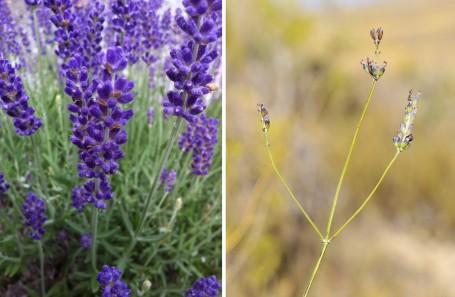 A la izda., la archiconocida L. angustifolia 'Hidcote'; a la dcha., una L. latifolia silvestre. Fotos: Homestead & Gardens y José María Escolano, respectivamente.