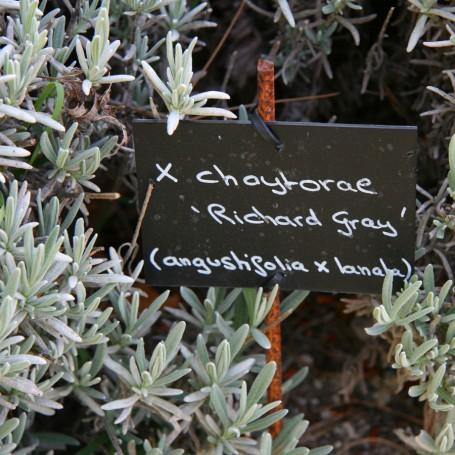 Lavandula x chaytorae hereda lo mejor de L. lanata, su follaje. En la imagen, L. x chaytorae 'Richard Gray'. Foto: Couleur Lavande.