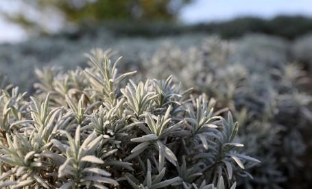 L. lanata es la lavanda con las hojas más gris-plateado. Foto: Wikimedia.