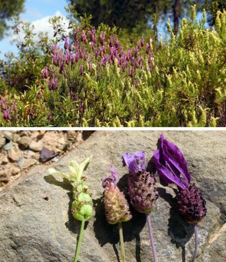 Imagen de Lavandula pedunculata y L. viridis en estado silvestre, en el Algarve (Portugal). Las zonas de distribución de ambas especies se solapan y a menudo se crean híbridos naturales. Foto: Alexandre Moleiro.