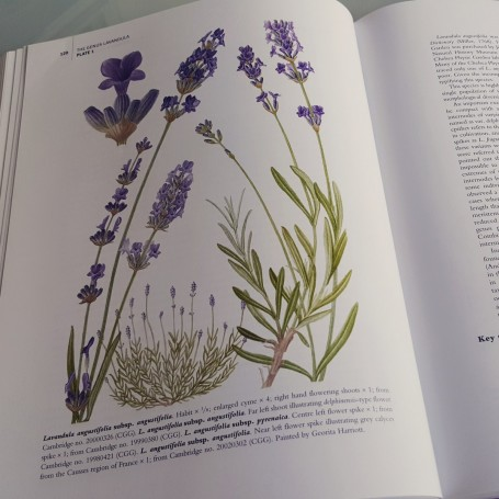 genus-lavandula-ilustracion