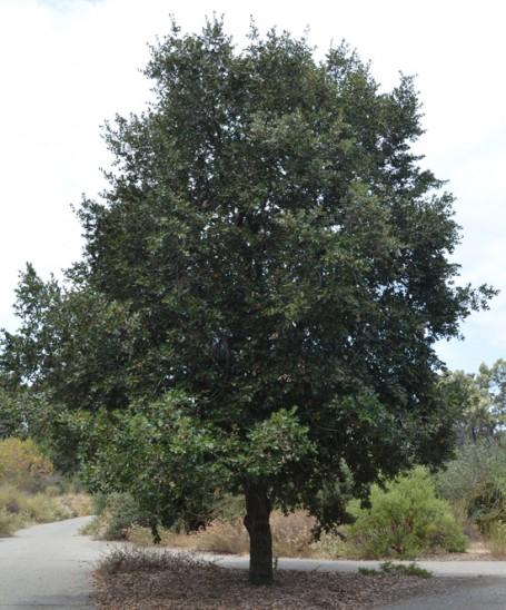 Quercus chrysolepis
